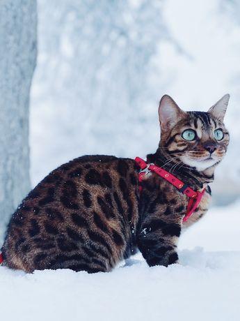 Красивая бенгальская кошка ищет жениха