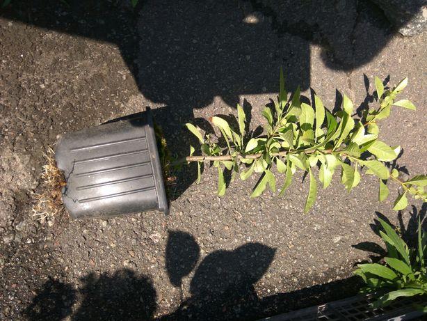 Айва японская северный лимон, очень витаминное растение,