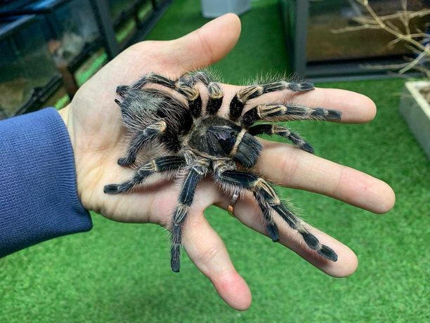 Grammostola pulchripes самка паука птицееда для новичков