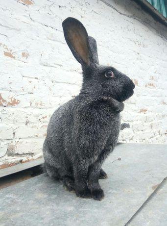 Продам молодняк кроликовПолтавского серебра ПС . Лучшая порода для вас