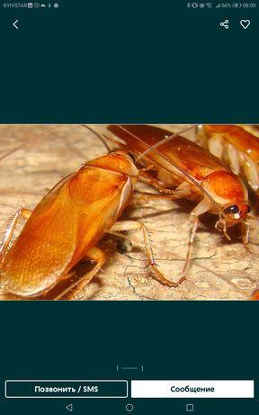 Замороженный туркменский таракан 100 грамм - 100 грн.