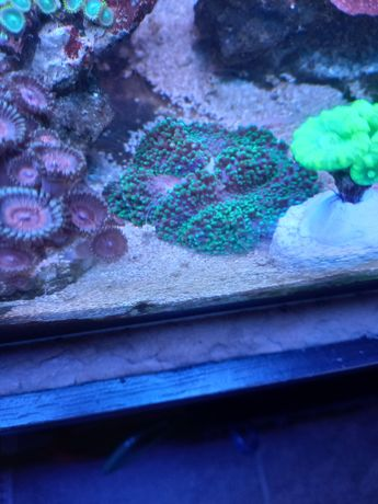 Rhodactis Fluo koral miekki
