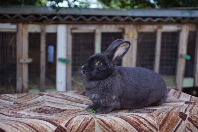 Кролик Віденський Голубий