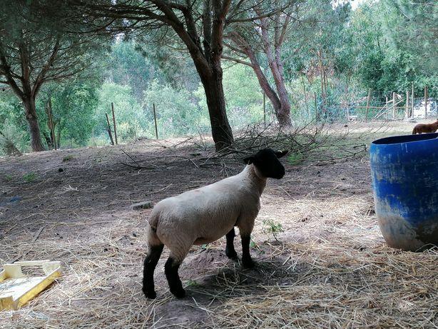 Vendo ovelhas importadas