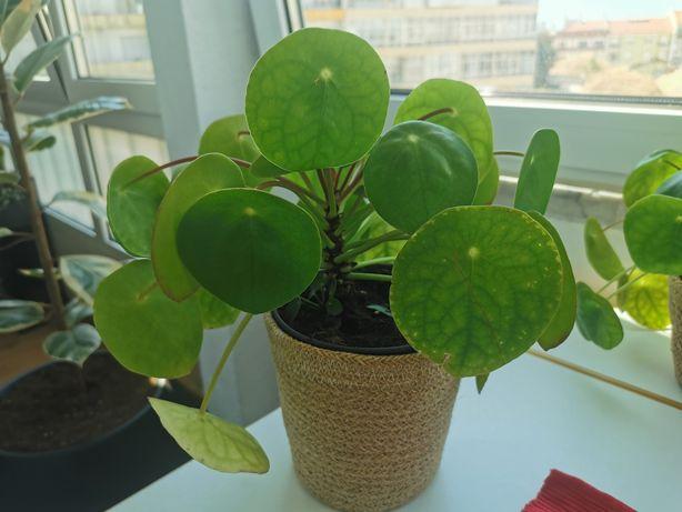 Pilea peperomioides (planta chinesa do dinheiro)