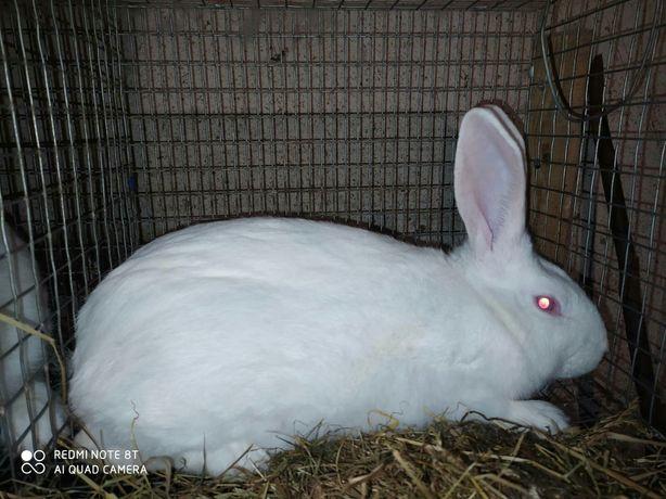 Продам кролі термонці