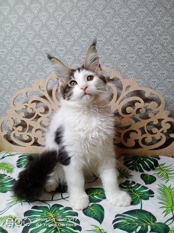 Кот компаньон  Мейн Кун