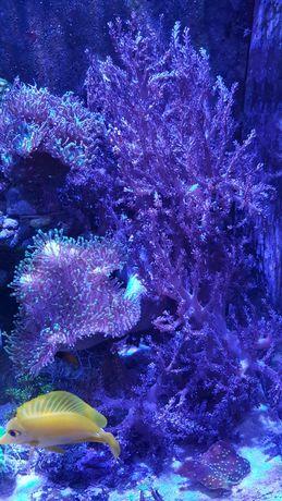 Koralowce Miękkie Sarco Capnella Anthelia
