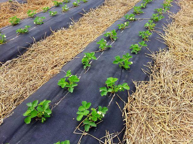 Agrowłóknina 1,2x500m 50g/m2 z UV na chwasty do ściółkowania TRUSKAWEK