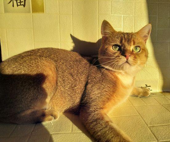 Золотая тикированная шиншилла яркий котик ждёт невест