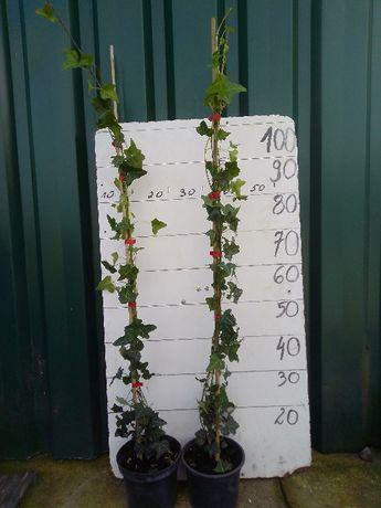 Hedera heliks, zimozielone pnącze duża sadzonka!
