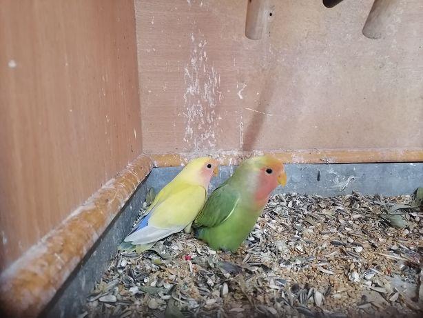 Papugi nierozłączki czerwonoczelne para
