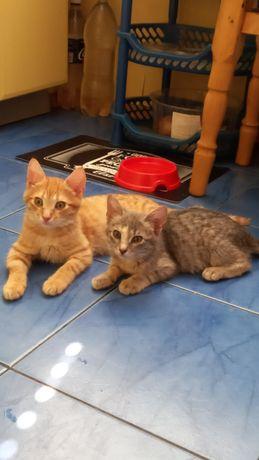 Максик и Бася ждут Вас! Ласковые, мурчащие котята!