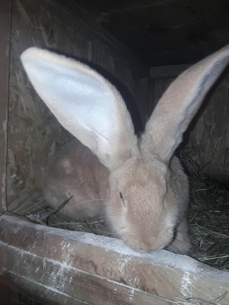 Продам Кролики желтый великан Голд красный великан Голд