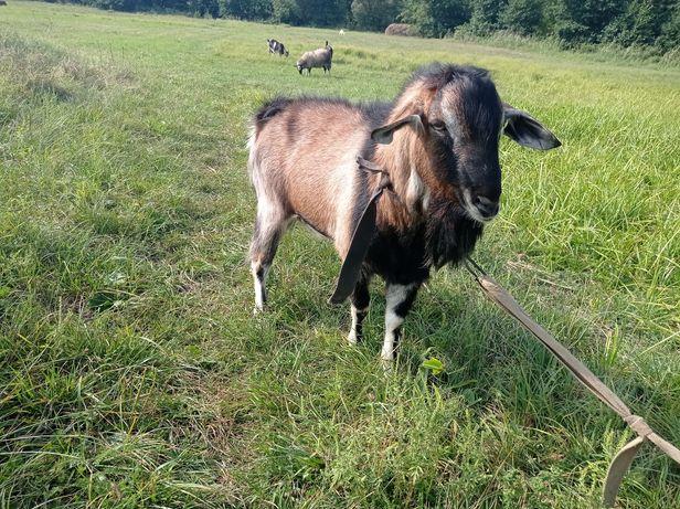Продам козла  на племя
