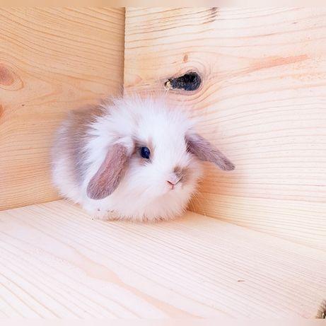 Карликовые супер мини кролики декорат. торчеухие и вислоухие крольчата