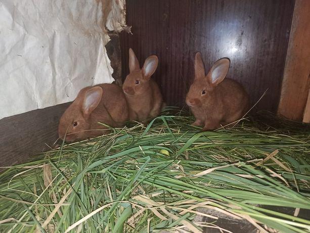 króliki Nowozelandzkie
