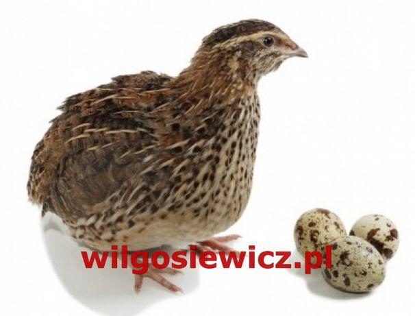 Przepiórki młode z jajkiem