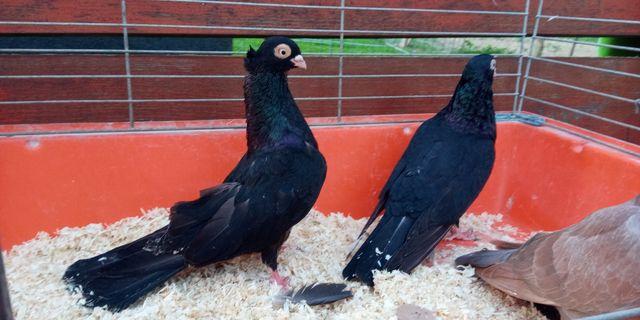 Gołębie zamojskie czubate