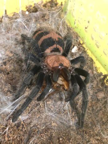 Davus fasciatum паук
