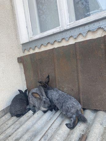 Кролички готові для спарювання. Самкі Полтавське срібло.