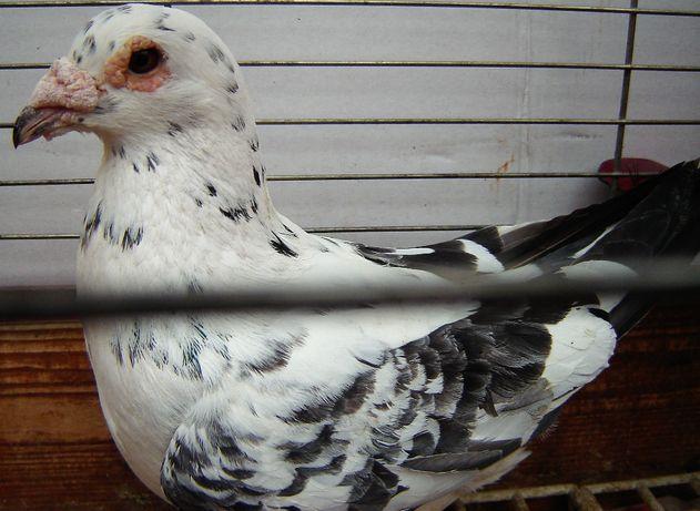 gołębie pocztowe samiec Dun Okaz!!