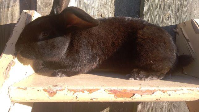 Czarny królik samiec
