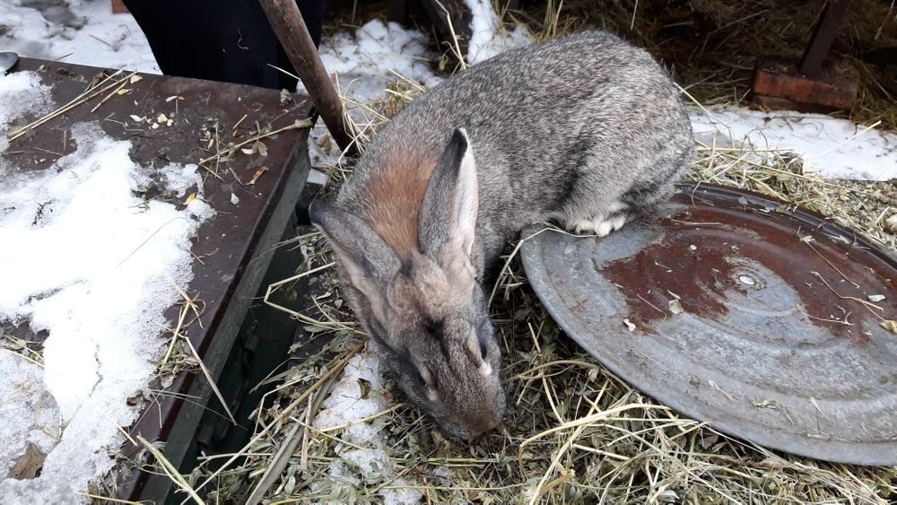 Мясо кролика, кролик Федоровка - изображение 1