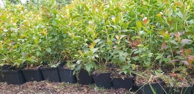 borówka Amerykańskie sadzonki Chandler Bluecrop Duke malina truskawki