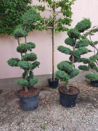 Jałowiec wycięty na bonsai