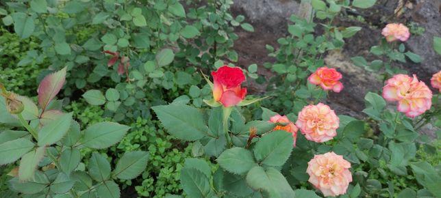 Кусты чайно-гибридной розы