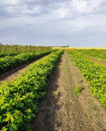 Продажа земли (сад, малина)