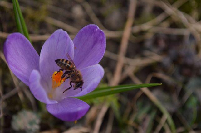Продам бджолопакети / пчелопакеты / та бджолосім'ї Карпатка і Карніка