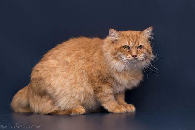 Отдам в хорошие руки немолодого кота Конфуция .