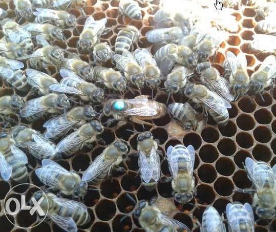 Продам пчелопакеты кагарлык киевская пчелы бджоли пакеты