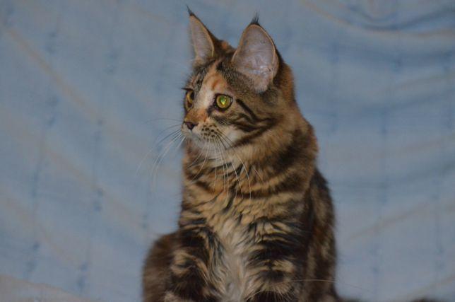 Кошечка породы Мейн-кун