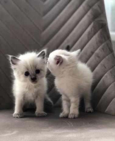 Сіамські кошата