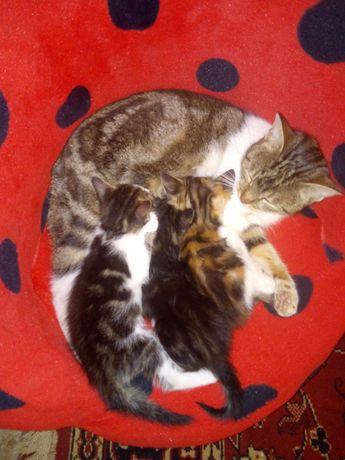 Кошенята породи Таббі