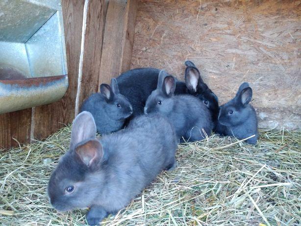 Sprzedam młode króliki wiedeńskie niebieskie samce