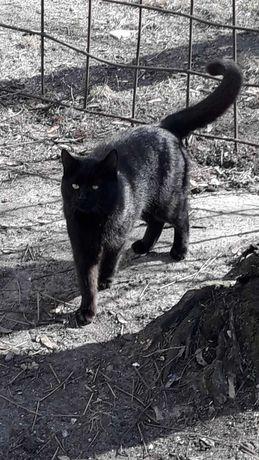 Черный пантер ищет дом, отдам кота подростка