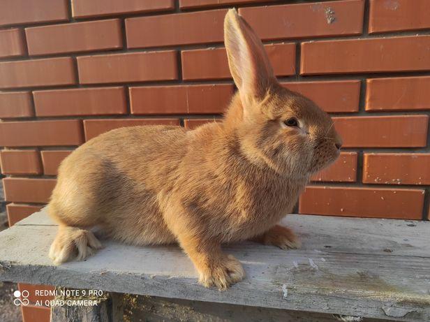 Кролик, кроленята бургундія