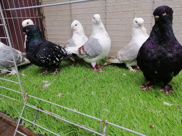 Gołębie. Mewki orientalne. Mewki holenderskie