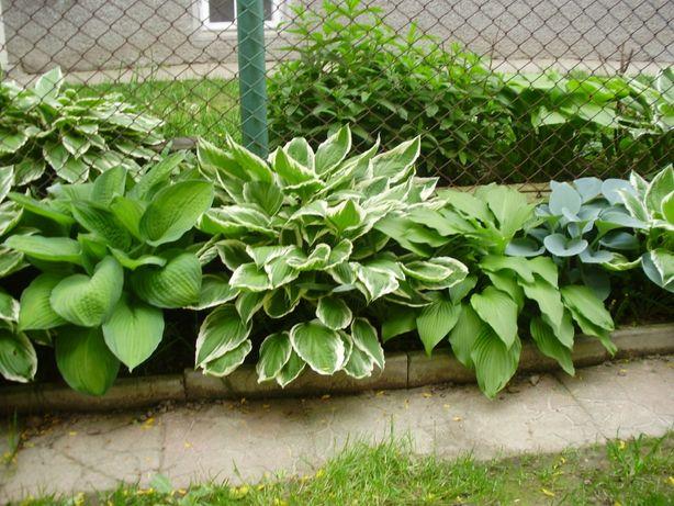 Хоста зелена з білим ободком.