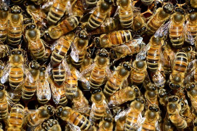 Пчелосемьи, пчелопакеты, отводки