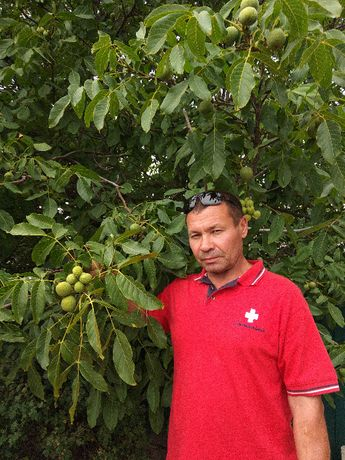 Саженцы семена грецкого ореха Идеал