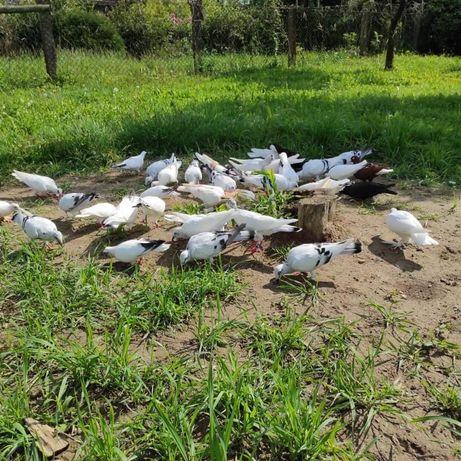 Lot gołębi srebniaki srebniak gołębie