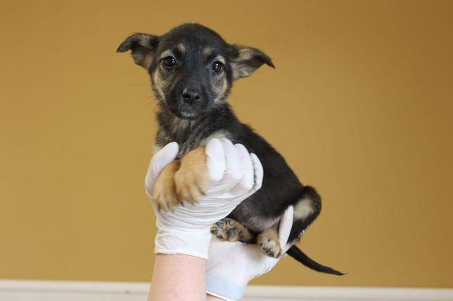 Щенок Лола, пёсик, пёс, собака, собачка 2 месяца