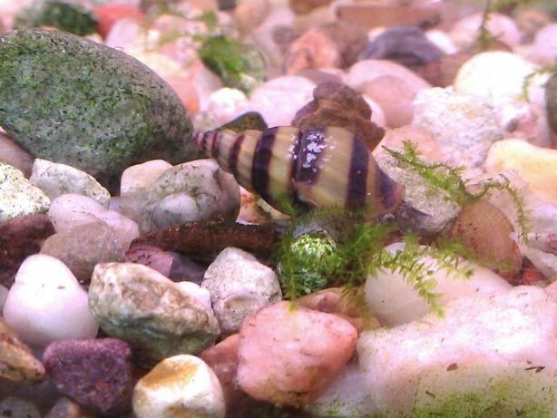 Ślimak Helenka (Anentome Helena) dorosłe osobniki 1,5 - 2cm