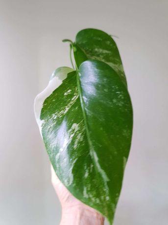 Monstera variegata ukorzeniona 3 listna