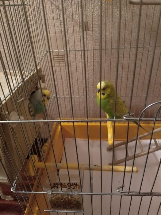 Волнистый попугай парочка и карелла Киев - изображение 1